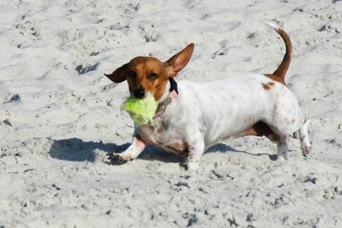 dachshund-dog-beach