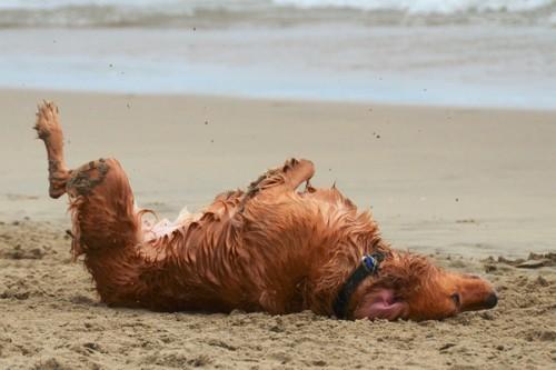 dog-beach-rolling