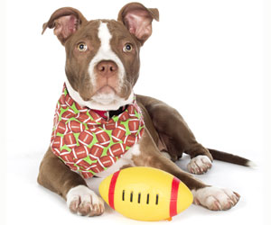 pitbull-football