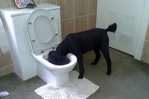 poodle-toilet